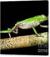 Vaillantis Monkey Frog Canvas Print