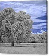 Valley Oak #2 Canvas Print