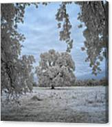 Valley Oak #3b Canvas Print
