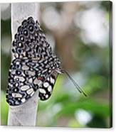 Variable Cracker Butterfly Canvas Print