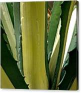 Variegated Agave Canvas Print