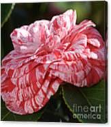 Variegated Camellia Canvas Print