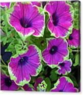 Variegated Petunias Canvas Print