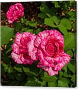 Variegated Roses Canvas Print