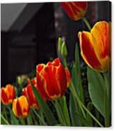 Variegated Tulips Canvas Print