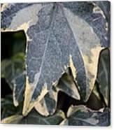 Varigated Ivy Leaves Canvas Print