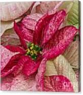 Varigated Poinsettia Canvas Print
