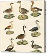 Various Kinds Of Geese Canvas Print