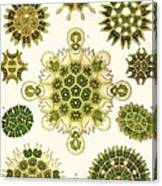 Varities Of Pediastrum From Kunstformen Der Natur Canvas Print