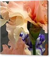 Velvety Soft Vanilla And Pink Iris Canvas Print