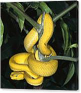 Vemonous Mcgregors Pit Viper Coiled Canvas Print