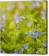 Veronica Chamaedrys Named Speedwell Or Gypsyweed Canvas Print
