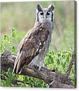 Verreauxs Eagle-owl Bubo Lacteus Canvas Print