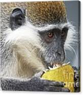 Vervet Monkey Eating An Orange Canvas Print