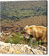 Very Light-colored Grizzly Bear In Moraine River In Katmai Nnp-ak Canvas Print