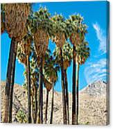 Very Tall Fan Palms In Andreas Canyon In Indian Canyons-ca Canvas Print