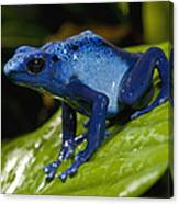 Very Tiny Blue Poison Dart Frog Canvas Print
