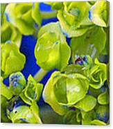 Very Young Hydrangea Canvas Print