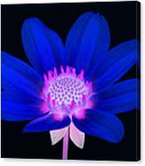 Vibrant Blue Single Dahlia With Pink Centre On Black. Canvas Print
