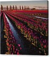 Vibrant Dusk Tulips Canvas Print