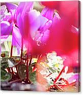 Vibrant Magenta Cyclamen In Bloom Canvas Print