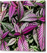 Vibrant Persian Shield II Canvas Print