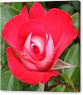 Vibrant Red Rose Canvas Print