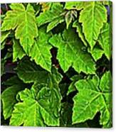 Vibrant Young Maples - Acer Canvas Print