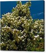 Viburnum Opulus Compactum Bush With White Flowers Canvas Print