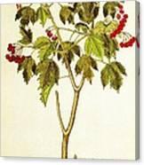 Viburnum Opulus Canvas Print