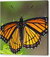 Viceroy On Fern Frond Canvas Print