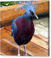 Victoria Crowned Pigeon Strutting Around Canvas Print