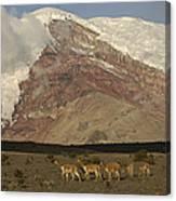Vicuna Herd Grazing At Mt Chimborazo Canvas Print