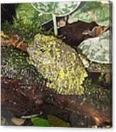 Vietnamese Mossy Frog Canvas Print