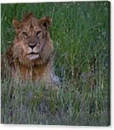 Vigilant Lion Canvas Print