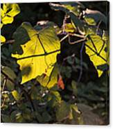 Vine Leaves At Sunset Canvas Print