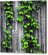 Vines On The Side Of A Barn Canvas Print
