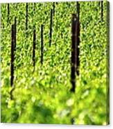 Vineyard 24056 Canvas Print