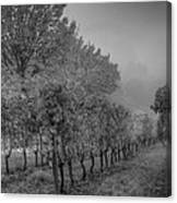 Vineyard Fog Canvas Print