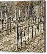 Vineyard In Early Spring Canvas Print