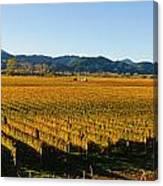Vineyard In Nz Canvas Print