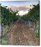 Vineyard In Tuscany Canvas Print