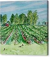Vineyard Of Ontario Canada 1 Canvas Print