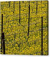 Vineyards Full Of Mustard Grass Canvas Print
