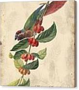 Vintage Bird Study-h Canvas Print