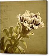Vintage Double Petunia Canvas Print