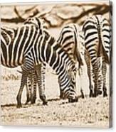 Vintage Zebras Canvas Print
