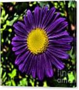 Violet Aster Canvas Print