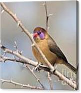 Violet Eared Waxbill Female Canvas Print