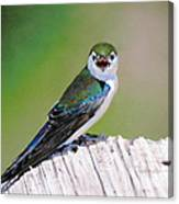 Violet Green Swallow Canvas Print